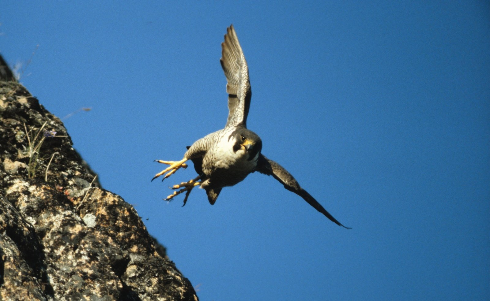 Speed Thrills The Peregrine Falcon Tops Out At A Speed