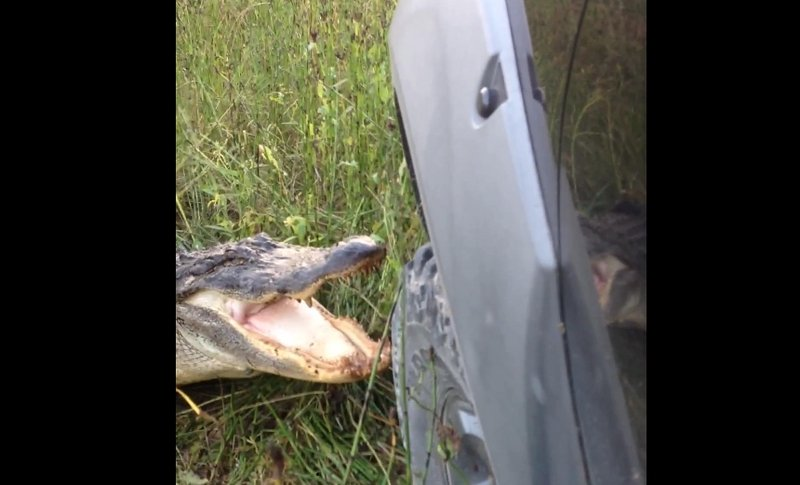 Nissan Frontier Battles Alligator and Loses: Video